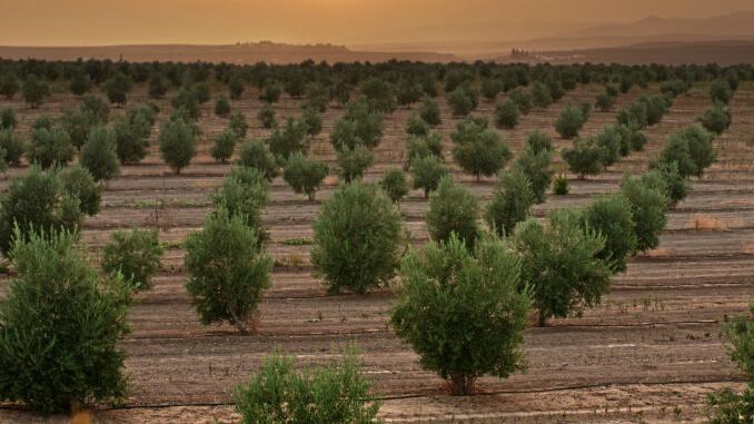 olivos-agricultura-vareadora-aceitunas-vareadoras-agroclan